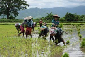 rice field Myanmar