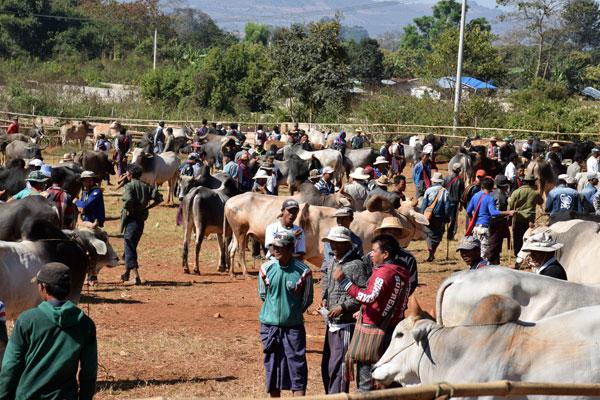 Inlay lake cow and buffallo market